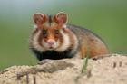 fredhamster_hamster-d-europe.jpg